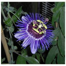 Passiflora Purple Haze Vaso 12cm
