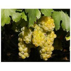 Uva Moscato Bianco (1 Pianta)
