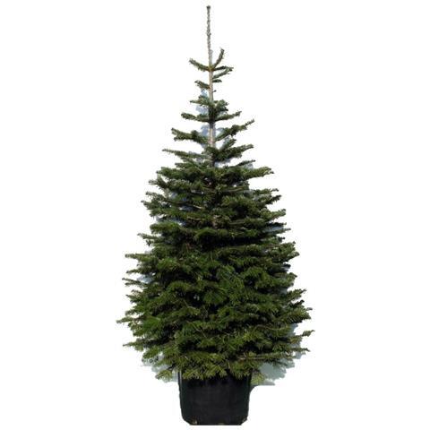 Albero Di Natale Online.Vivai Scifo Store Abete Rosso In Vaso 30 Cm Per Albero Di Natale