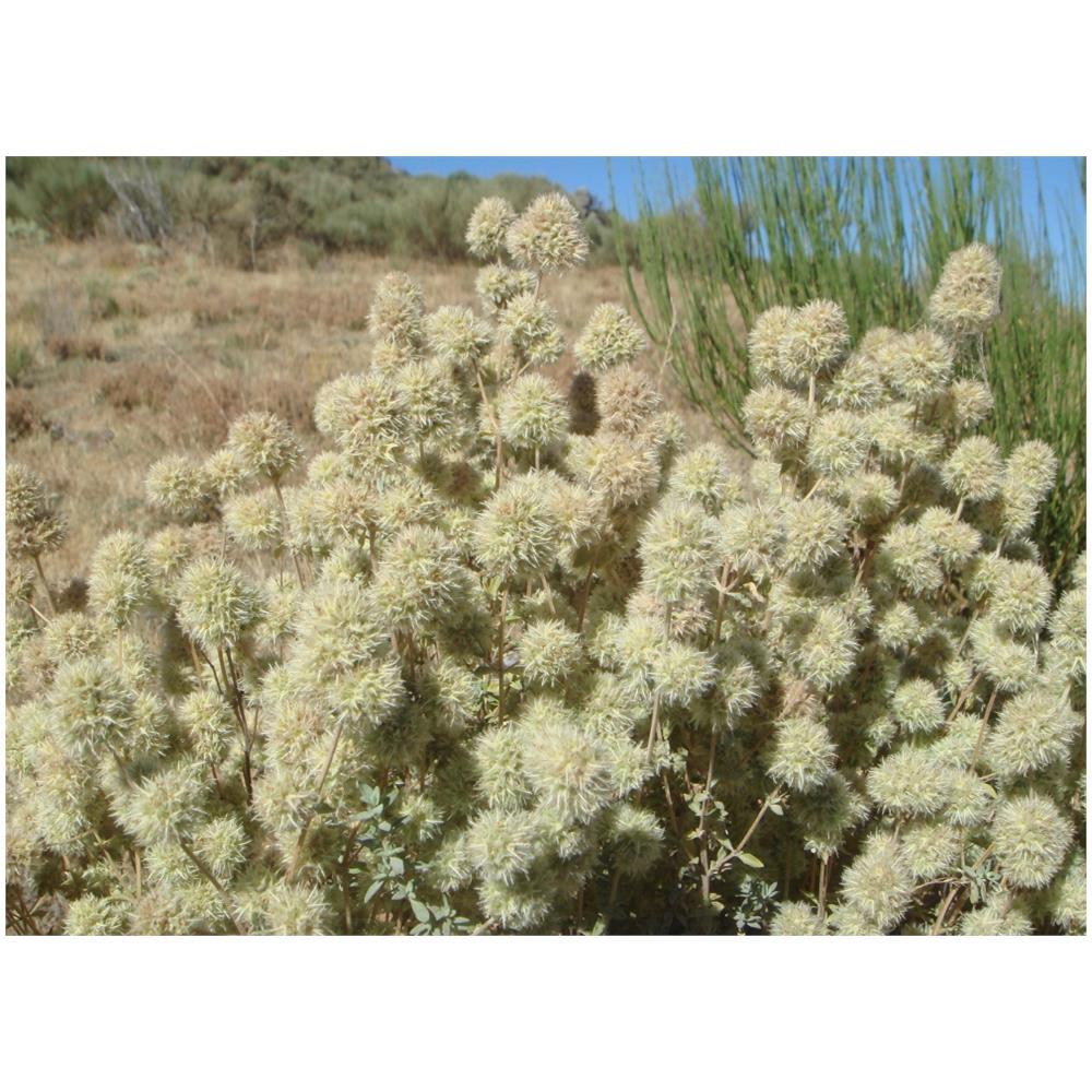 Thymus mastichina SAFLAX 250 semi Set per la coltivazione Timo mastichina